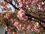 Sakura02_2